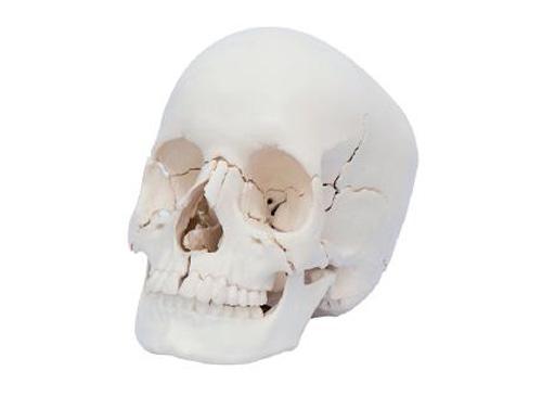 22部件头颅骨模型