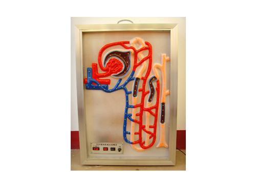 尿的形成动态模型